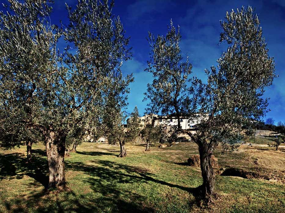 piante_oliva