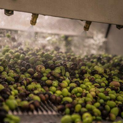 Lavatura delle olive - Frantoio