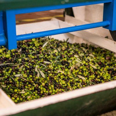 Raccolta Olive 2 - Frantoio
