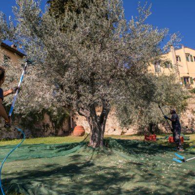 Raccolta Olive 3 - Frantoio