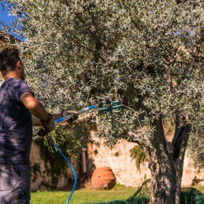 Raccolta Olive 4 - Frantoio