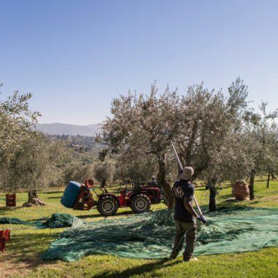 Raccolta Olive 5 - Frantoio